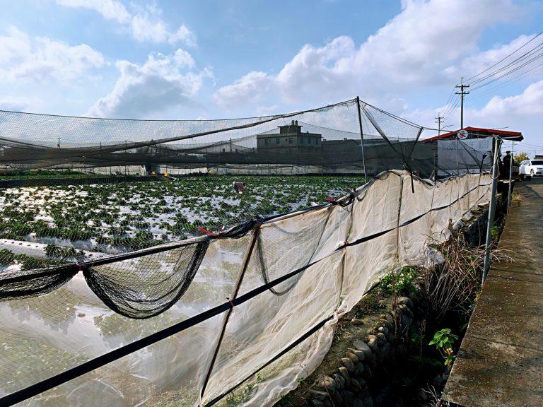 近竹東的採草莓園 -採草莓季節11-4月-來新竹採草莓