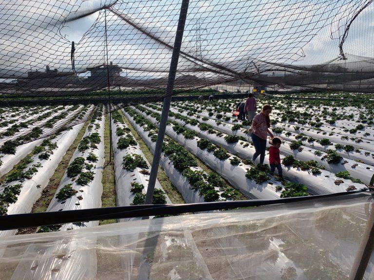 新竹親子景點-採草莓季節-來新竹採草莓