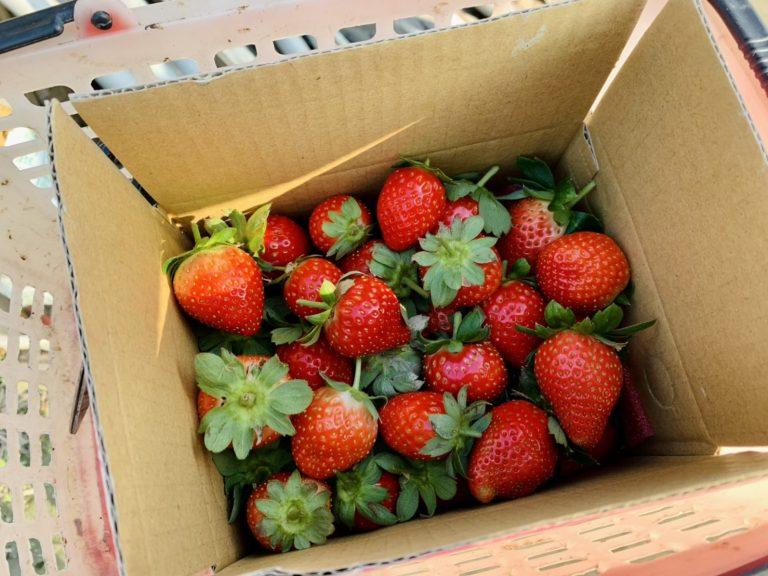 lailai strawberryfarm iklady092