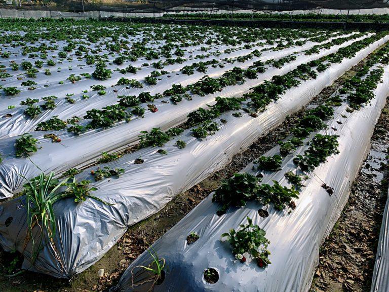 lailai strawberryfarm iklady13