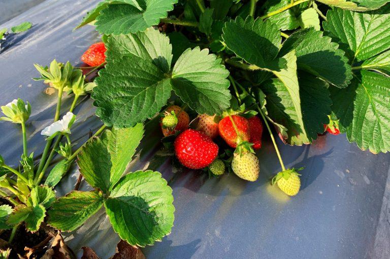lailai strawberryfarm iklady15