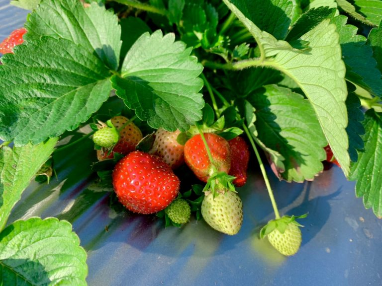 lailai strawberryfarm iklady16