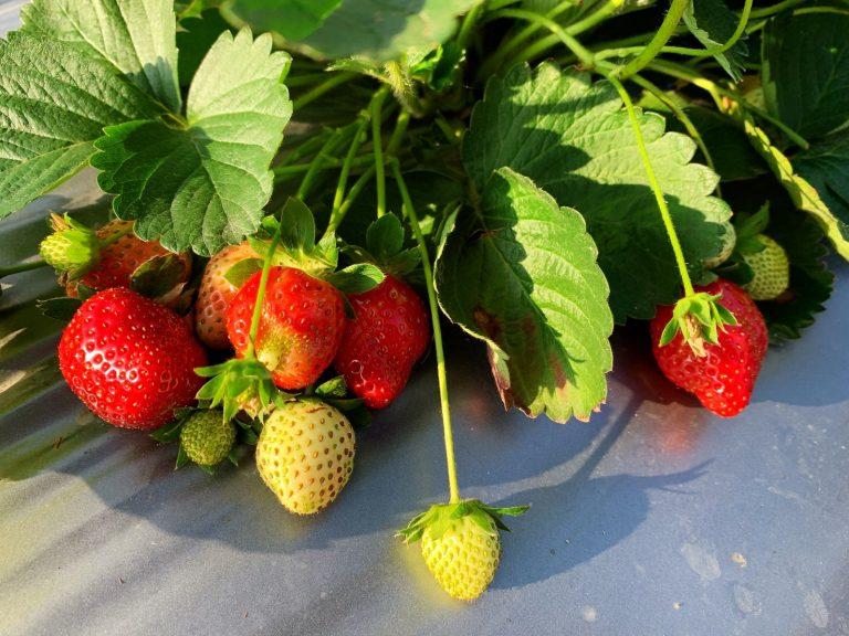 lailai strawberryfarm iklady17