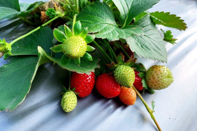 採草莓季節-來新竹採草莓