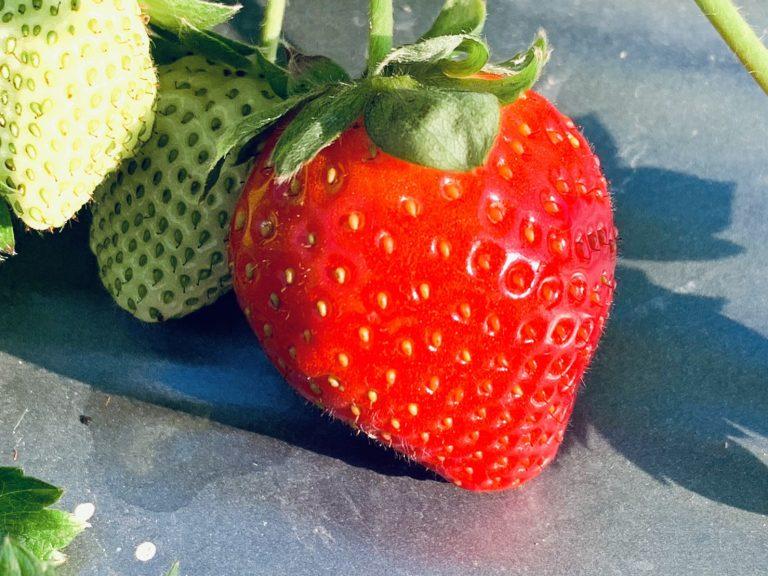 lailai strawberryfarm iklady181