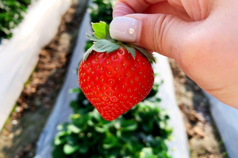 【2021新竹採草莓】橫山芎林《來來草莓園》11-4月採草莓季節