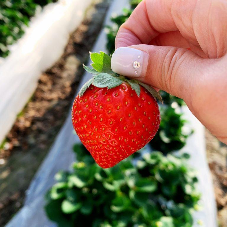 lailai strawberryfarm iklady20